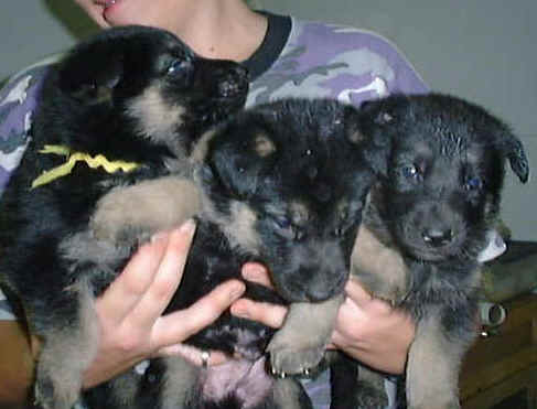 German Shepherd Dog Puppy Pictures Page 1