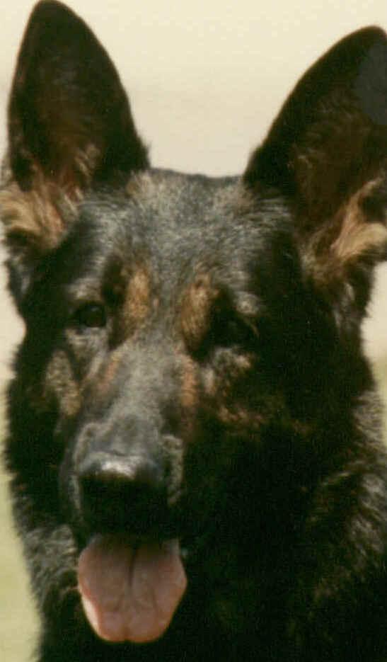 Grunenfeld Schwarze Hunde Black German Shepherds